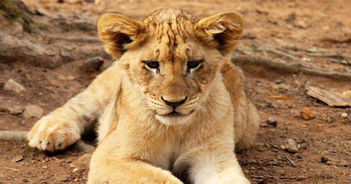 http://meranews.in/backend/main_imgs/LionCubs_lion-cubs-death-infighting-amreli-gir-jungles_0.jpg