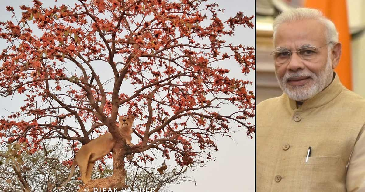http://meranews.in/backend/main_imgs/gir-pmmodi_gir-lion-on-tree-photo-goes-viral-in-social-media_0.jpg