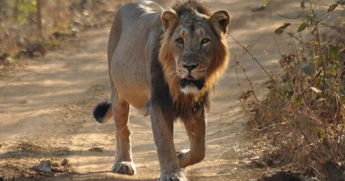 http://meranews.in/backend/main_imgs/lioneng_sasan-lioness-drags-tracker-into-forest-kills-him-two-other-injured-in-the-attack_0.jpg