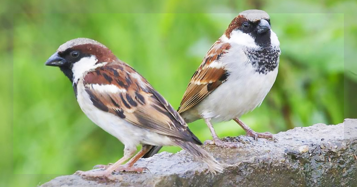 http://meranews.in/backend/main_imgs/sparow_world-sparrow-day-when-was-the-last-time-you-saw-a-sparrow_0.jpg